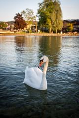 Swan (iampepa) Tags: lake nature austria sterreich swan schwan swimm attersee upperaustria seewalchen