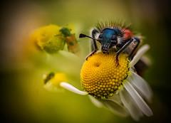La perfeccin de lo pequeo (GLAS-8) Tags: blanco rojo comida amarillo campo margarita mayo insecto glas8 mcarmenverde