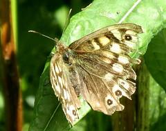Speckled wood butterfly (billnbenj) Tags: brown butterfly cumbria speckled barrow speckledwoodbutterfly eyespot