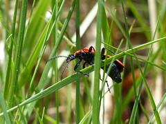Black-Headed Cardinal Beetle  P1240164 (ianpreston) Tags: cardinal beetle staffordshire 2016 rspb blackheaded cardinalbeetle coombesvalley