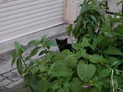kitten (hamidasou15) Tags: cat