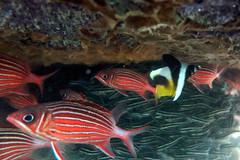some fish swim upside down (Mauritius100) Tags: ocean swimming underwater indian down mauritius upside plotosuslineatus maskedbannerfish stripedeelcatfish heniochusmonoceros crownsquirrelfish sargocentrondiadema swimupsidedown