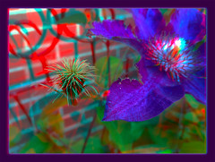 Clematis 2 - Anaglyph 3D (DarkOnus) Tags: flower macro closeup stereogram 3d phone pennsylvania clematis cell anaglyph stereo bloom stereography buckscounty huawei mate8 darkonus