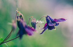 hanging around (StadtKind - capture the Bokeh) Tags: flowers flores macro nature fleur wow germany bavaria petals cool europe dof bokeh dandelion seeds depthoffield mostinteresting bloom f2 popular blume blte manualfocus 135mm pastell naturephotography macrophotography manuallens samyang 1352 smoothbokeh stadtkind silkybokeh kepten beokehlicious doflicious samyang1352 schallowdepthoffield