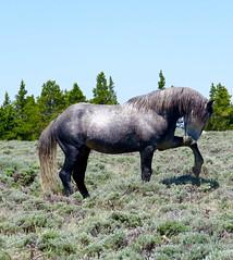 Carousel pony (prairiegirrl) Tags: wyoming mustang wildhorses greenmountain reddesertwildhorses