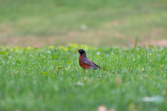 Robin in the grass (sudermanelaine) Tags: summer bird nature robin grass
