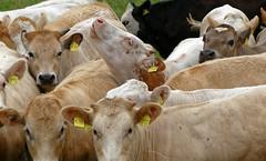 Herdentrieb - 2016 - 0023_Web (berni.radke) Tags: cows bovine khe rinder herde herdinstinct herdentrieb