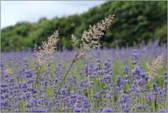 Interloper (Mabacam) Tags: flowers plant london grass lavender surrey fields 2016 banstead lavenderfarm grassflowers grassseedheads mayfieldlavenderfarm