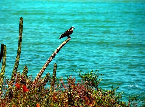 Aguila Pescadora.