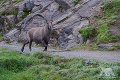 Alpine Ibex (fascinationwildlife) Tags: park morning summer mountain alps male nature animal mammal austria sterreich natur krnten carinthia alpine national alpen ram range hohe ibex steinbock tauern grosglockner