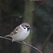 Tree Sparrow NottsWT (cpt John Smith)