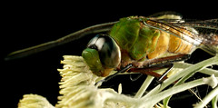 DSC09378 cópia (Bucci 10) Tags: brazil insectos macro brasil sãopaulo sony flash insects libelula inseto robson diffuser joaninha experimento bucci macrophoto biologia insetos monstro formiga grilo besouro naturesfinest cigarra louvadeus macroextreme jardimbotânicosp 50mmmacro outstandingshots biologo alpha100 difusor infinestyle flickrdiamond magicofaworldinmacro 2flash macromarvels libeula macrolife macroelsalvador excapturemacro natureselegantshots robão 50mmquantaraymacrotech10mxaf flashdiyflashdiffuser alpha390 robsonbucci