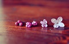 ({LadyB*) Tags: pink flower little rosa growth fiori blooming crescita evoluzione fiorellini sbocciatura