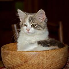 The wooden bed (Deb Jones1) Tags: family portrait pet cats baby pets beauty animal cat canon outdoors kitten feline kitty australia flickrduel debjones1