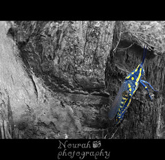 Locust (Nourah Almajaishy) Tags: blue color yellow insect locust   nourah      almajaishy