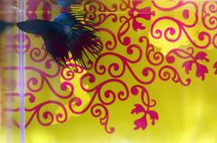(-- brian cameron --) Tags: fish yellow betta fishes tanks gourami freshwater rayfinned 550d osphronemidae pixelize2blogspotca