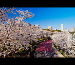 Sakura @ ( ()) Tags: park travel pink flowers trees light sky white plant flower macro tree castle nature japan garden cherry tokyo spring blossom blossoms olympus midtown  cherryblossom  cherryblossoms   zuiko cherrytree e30 cherrytrees 1122   cherryblossomfestival