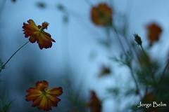 Fleur (6054) (Jorge Belim) Tags: pordosol flora flor entardecer crepúsculo fimdodia canoneos50d