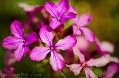 Honesty (jactoll) Tags: flower macro 50mm spring nikon sigma textures warwickshire alcester warks d7000 kimklassen jactoll