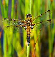 Four Spotted Chaser (oldt1mer) Tags: england insect wings eyes close dragonfly sony threesisters bryn chaser wigan fourspotted fourspottedchaser a65 mygearandme mygearandmepremium mygearandmebronze mygearandmesilver mygearandmegold mygearandmeplatinum mygearandmediamond sonya65 slta65