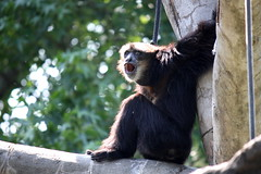 Noisy Welcome (derekbruff) Tags: zoo call noise gibbon riverbanks siamang