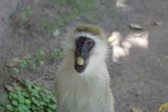 kenia00012 (Micano2008) Tags: monkey pentax kenya mara kenia masai vervet masaimara kx sigma70300 cercopiteco figtreecamp cercopitecovervet