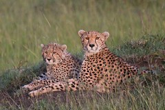 Mother and son evening light (pinkfootpat catching up) Tags: cat cub kenya mother cheetah carnivore masaimara kicheche