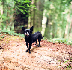 chihuahua wednesday? (after october) Tags: dog chihuahua tree film northerncalifornia forest log woods hasselblad poppy redwoods portra hasselblad500cm elitechihuahuas sopoppyisstandinginforthisweekswhippetwednesday imrunninglowonroyphotos