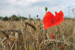 Coquelicot (Benot, simple escargot) Tags: flower nature fleur coquelicot bl