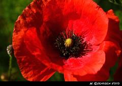 Mohnblume (H. Eisenreich) Tags: life stilllife sun ic stillleben still cornfield hans feld poppy sonne kornfeld mohnblume eisenreich d5100 eijomian