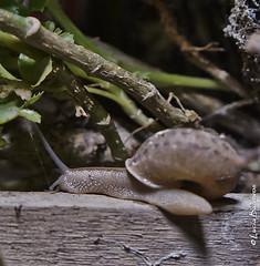 Aruá (lubasi) Tags: america forest do selva folha animais sul caracol array escuro amazonas pequeno casaca amazonia selvagem aruá habita embaixo caramujo esconderijo greatnature florestas 3cm amazonico locai humidos molusculo humidas