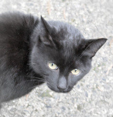 Larry again (Zebra Crossing and The Paper Chipmunk) Tags: cat blackcat chatnoir gatonegro gatopreto schwarzekatze gattonero   larrythecat
