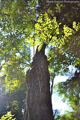 Looking up the Tree (ssgmacdawg12345) Tags: tree nature nikon shane hike garlock pultneyville d3100 shanegarlock