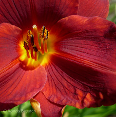 Red Lily (Ronda Broatch Photos) Tags: flowers red summer macro nature floral closeup garden bokeh outdoor blossoms bloom redflowers redlily flowersplants nikond90