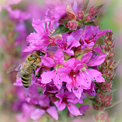 In the Pink (Eleanor (WHU)) Tags: pink nature garden bee salvia thelook floralfantasy naturesanctuary fantasticnature naturesgallery betterthangood natureislife naturespotofgold flickrsawesomeblossoms naturescreations unforgettableflowers addictedtoflowers naturesprime bugsonpixels natureskingdom thenaturessoul blinkagain anaturecanvas aboutthenaturewithlove brigettesbeautifulnaturegallery eveythinggoodinnature certifiedphotographerlevel1 anythingnikonexceptpeople