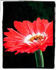 Gerbera (Darling Starlings Flying the Nest) Tags: red flower green beauty quote gerbera innocence claudemonet purity flowermeanings magicked