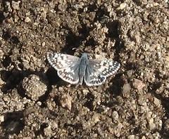Common/White Checkered-Skipper (lycaenidae_nm) Tags: lepidoptera hesperiidae pyrgus pyrginae hesperioidea embuditocanyon pyrguscommunisalbescens commonwhitecheckeredskipper