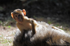 Berberaffe (Macaca sylvanus) (hellboy2503) Tags: portrait nature animal animals canon germany deutschland photography tiere photo natur images 7d getty grn creatures landschaft weiss 70200 apes luft fell tier vogel gettyimages jrg affen kreatur nachwuchs 100400 junges berberaffen thegalaxy gettyimagescallforartists gettyimagesartistpicks hellboy2503 rememberthatmomentlevel1 rememberthatmomentlevel2 rememberthatmomentlevel3