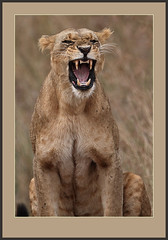 Wild thing! (Rainbirder) Tags: africanlion pantheraleo nairobinationalpark rainbirder