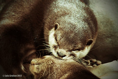 Otter Love (LouG_13) Tags: 2 two love zoo nikon couple florida miami sleep pair sleepy otter asleep animalplanet southflorida zooanimals miamizoo asiansmallclawedotter d3000 grullon zoosofnorthamerica nikond3000 luisgrullon loug13
