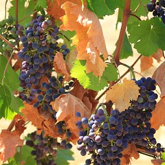 Sangiovese grapes for Tuscane Chianti wine (Bn) Tags: red summer italy sun sunlight holiday colour green leaves florence cherries strada italia berries bright wine small grow dry visit hills vineyards tuscany grapes chianti fields strong farms wildflowers siena taste roads radda product toscane region plums fruity greve produced rubby vino flourish discover wijn bottling sangiovese cellars cultivated classico castellina hillsides harmonious