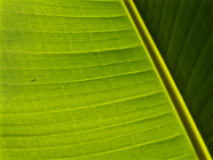 Shadow (megorgar) Tags: tree green leaf banana grn lint blatt baum bananen fluse e520