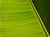 Shadow (megorgar) Tags: tree green leaf banana grün lint blatt baum bananen fluse e520