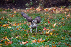 hawk-3932.jpg (HVargas) Tags: bird birds hawk wildlife aves falcon prey chickenhawk falconry redtailedhawk carnivoro harrishawk harrisshawk harlans gavilan ractor baywingedhawk duskyhawk ratonerodecolaroja gavilncolirrojo