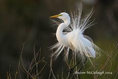 Displaying Great White Egret (Let there be light (A.J. McCullough)) Tags: birds slbdisplaying texasbirdsegretdisplayingnestinghighislandsmithoaksrookery