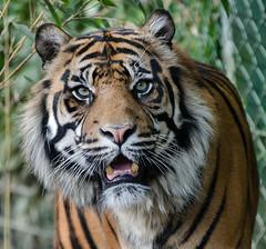 tiger (Richard Lynam) Tags: dublin cats animals zoo big tiger dublinzoo