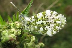 Orange Tip - Anthocharis cardamines (Camerar) Tags: uk butterfly insect butterflies orangetip anthochariscardamines pieridae
