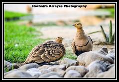 #طائر #طيور #محمية_واسط_للأراضي_الرطبة #تصوير #تصويري #الشارقة #الإمارات        #uae #sharjah #bird  #birds #epaa #epaashj# (alrayes1977) Tags: bird birds uae sharjah الإمارات تصوير تصويري الشارقة طيور طائر epaa epaashj محميةواسطللأراضيالرطبة