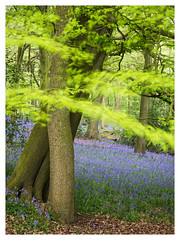 Step Into the Breeze (Damian_Ward) Tags: wood morning trees bluebells forest woodland photography exposure multiple oxfordshire beech thechilterns chilternhills christmascommon hyacinthoidesnonscripta damianward damianward lowerdeanswood