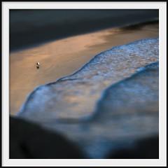 whisky gull (Andrew C Wallace) Tags: blur lensbaby coast waves dof australia olympus victoria shore squareformat omd tiltshift wilsonspromontory m43 whiskybay pacificgull em5 nikon50mmf14 photoborder microfourthirds tilttransformer